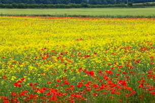 Poppies in an oilseed rape field near North Stainley, Ripon, North Yorkshire, Yorkshireの写真素材 [FYI03782911]