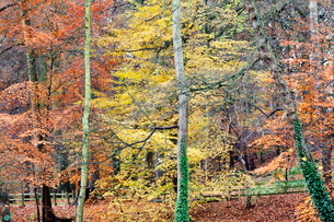 Beech Trees in Autumn on Long Walk at Mother Shiptons Knaresborough North Yorkshire Englandの写真素材 [FYI03782945]