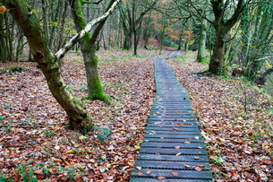 Duckboards near Scotton Bridge in Nidd Gorge Woods near Knaresborough, North Yorkshire, Yorkshireの写真素材 [FYI03782946]
