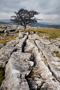 Lone tree at Winskill Stones near Settle, Yorkshire Dales, Yorkshireの写真素材 [FYI03782960]