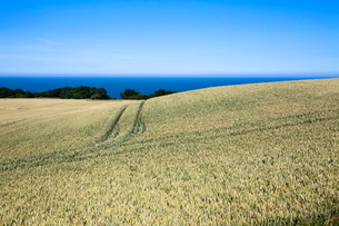 Wheat crop ripening by the North Sea at Osgodby, Scarborough, North Yorkshire, Yorkshireの写真素材 [FYI03782975]