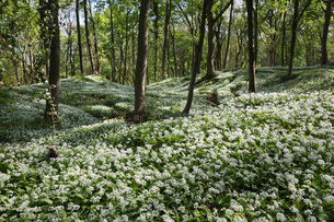 Wild garlic in deciduous woodland, near Chipping Campden, Cotswolds, Gloucestershireの写真素材 [FYI03783012]