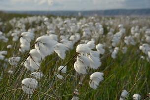 Dense stand of common cottongrass (Eriophorum angustifolium) flowering on damp moorland, the Gower Pの写真素材 [FYI03783135]