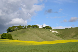 Cherhill White Horse, cut into chalk downland in 1780, with rape crop (Brassica napus) flowering inの写真素材 [FYI03783145]