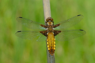 Female broad bodied chaser dragonfly (Libellula depressa) with one damaged wing resting on a reed stの写真素材 [FYI03783167]