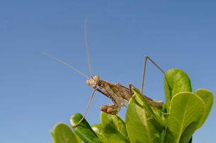 Low angle view of a Praying mantis (Mantis religious) hunting on a bushの写真素材 [FYI03783171]