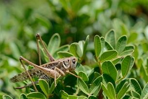 Female white-faced wartbiter bush cricket (Decticus albifrons), in a bush, Creteの写真素材 [FYI03783174]