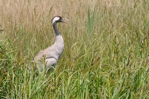 Reintroduced common crane (Eurasian crane) (Grus grus) panting in hot weather while standing on herの写真素材 [FYI03783177]
