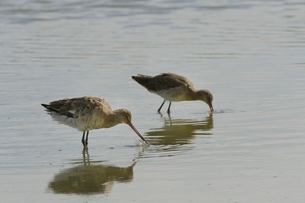 Two black-tailed godwits (Limosa limosa) foraging in a freshwater lake, Gloucestershireの写真素材 [FYI03783180]