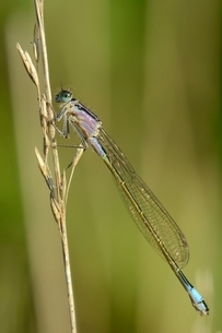Female blue-tailed damselfly (Ischnura elegans), violet form, resting on a dried grass stem, Creechの写真素材 [FYI03783190]