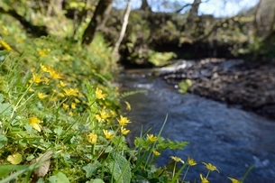 Lesser celandines (Ranunculus ficaria) flowering on a stream bank in woodland, Millook Valley Woods,の写真素材 [FYI03783198]