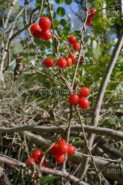 Black bryony berries (Dioscoria communis) on climbing stems in woodland, Gloucestershire Wildlife Trの写真素材 [FYI03783201]