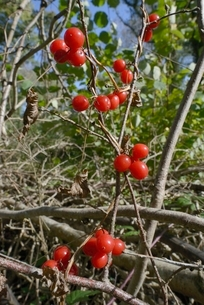 Black bryony berries (Dioscoria communis) on climbing stems in woodland, Gloucestershire Wildlife Trの写真素材 [FYI03783201]