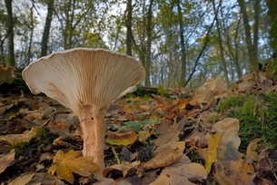 Trooping funnel (Monk's head mushroom) (Clitocybe) (Infundibulicybe geotropa), Gloucestershire Wildlの写真素材 [FYI03783206]