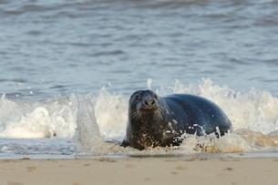 Grey seal (Halichoerus grypus) adult hauling ashore among breaking waves, Norfolkの写真素材 [FYI03783207]