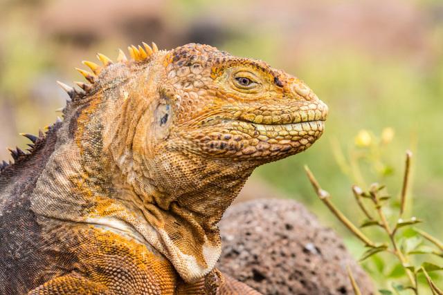 An adult Galapagos land iguana (Conolophus subcristatus), head detail, North Seymour Island, Galapagの写真素材 [FYI03783300]