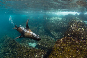 Galapagos fur seal (Arctocephalus galapagoensis) underwater on Santiago Island, Galapagos, Ecuador,の写真素材 [FYI03783305]