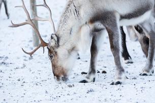 Close up of a reindeer, Abisko, Kiruna Municipality, Norrbotten County, Lapland, Sweden, Scandinaviaの写真素材 [FYI03783356]
