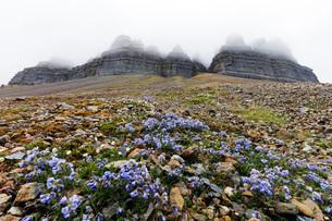 Skansen in Billefjorden, Jacob's ladder flower (Polemonium caeruleum), Spitsbergen, Svalbard, Arcticの写真素材 [FYI03783549]