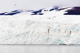 Black legged kittywake gulls (Rissa), Hornbreen Glacier, Spitsbergen, Svalbard, Arctic, Norway, Euroの写真素材 [FYI03783564]