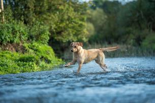 Labrador in a river, Oxfordshire, England, United Kingdom, Europeの写真素材 [FYI03783654]
