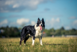 Border collie in a field, Oxfordshire, England, United Kingdom, Europeの写真素材 [FYI03783655]