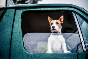Dog looking out of window, game-shooting, England, United Kingdom, Europeの写真素材 [FYI03783661]