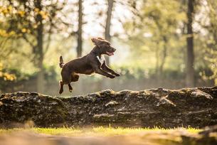 Jumping cocker spaniel, Oxfordshire, England, United Kingdom, Europeの写真素材 [FYI03783662]