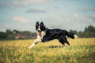 Running border collie in a field, Oxfordshire, England, United Kingdom, Europeの写真素材 [FYI03783665]