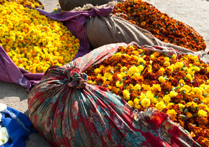 Cut yellow marigolds, weighed and bagged in cloth bundles, for sale in the early morning flower markの写真素材 [FYI03783742]