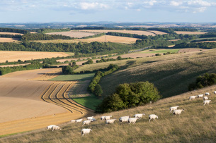 View over summer wheat fields and sheep from top of Beacon Hill, near Highclere, Hampshire, England,の写真素材 [FYI03783757]