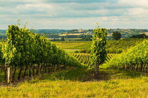 View northeast across vineyards towards Duras and its chateau at this village near Monsegum, Le Faubの写真素材 [FYI03783814]