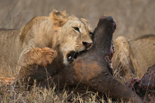 A sub-adult male lion (Panthera leo) feeding on a buffalo kill, Tsavo, Kenya, East Africa, Africaの写真素材 [FYI03783823]