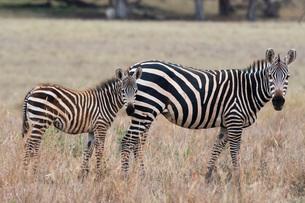 A common zebra ( Equus quagga) with its foal, looking at the camera, Tsavo, Kenya, East Africa, Afriの写真素材 [FYI03783826]