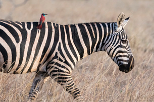Portrait of a common zebra (Equus quagga), walking with a northern carmine bee-eater (Merops rubicusの写真素材 [FYI03783830]