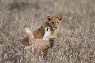 Two lion cubs (Panthera leo) playing in the tall grass, Tsavo, Kenya, East Africa, Africaの写真素材 [FYI03783839]