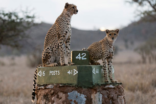 A cheetah (Acinonyx jubatus) and her young surveying the savannah at dusk, Tsavo, Kenya, East Africaの写真素材 [FYI03783840]