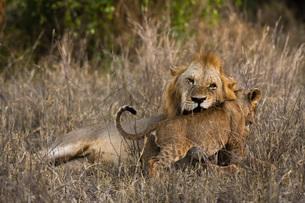 A male lion (Panthera leo) with its cub, Tsavo, Kenya, East Africa, Africaの写真素材 [FYI03783846]