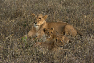 A lioness (Panthera leo) with cubs, Tsavo, Kenya, East Africa, Africaの写真素材 [FYI03783853]