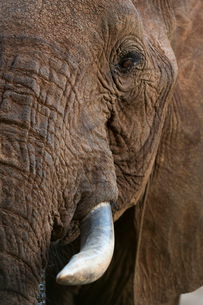 Close up portrait of an African elephant (Loxodonta africana), Tsavo, Kenya, East Africa, Africaの写真素材 [FYI03783858]