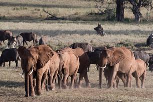 A breeding herd of African elephants (Loxodonta africana) walking on a plain to reach a waterhole, Tの写真素材 [FYI03783859]