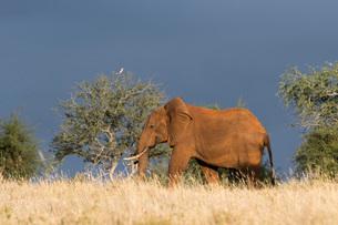 An African elephant (Loxodonta africana) walking in the bush, Tsavo, Kenya, East Africa, Africaの写真素材 [FYI03783867]