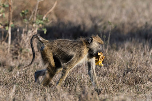 A yellow baboon (Papio hamadryas cynocephalus) walking with some food in its mouth, Tsavo, Kenya, Eaの写真素材 [FYI03783879]