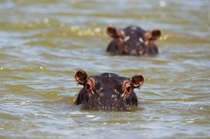 Close up of hippos (Hippopotamus amphibius) submerged in Lake Gipe, Tsavo, Kenya, East Africa, Africの写真素材 [FYI03783881]