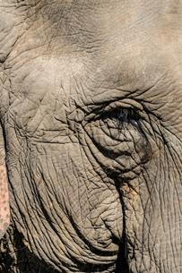 Indian elephant (Elephas maximus indicus) portrait, Kaziranga National Park, Assam, India, Asiaの写真素材 [FYI03784008]