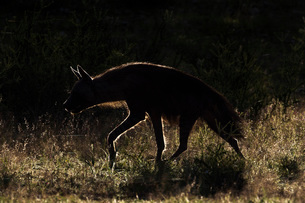 Brown hyaena (Hyaena brunnea), Kgalagadi Transfrontier Park, Northern Cape, South Africa, Africaの写真素材 [FYI03784180]
