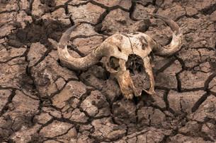 Cape buffalo (Syncerus caffer) skull, Zimanga Private Game Reserve, KwaZulu-Natal, South Africa, Afrの写真素材 [FYI03784190]