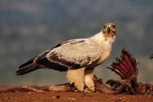 Tawny eagle (Aquila rapax) on carcass, Zimanga Private Game Reserve, KwaZulu-Natal, South Africa, Afの写真素材 [FYI03784197]