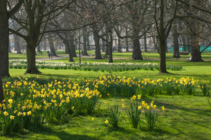 Daffodils, St James Park, London, England, United Kingdom, Europeの写真素材 [FYI03784233]