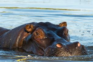 A hippopotamus (Hippopotamus amphibius), in the Okavango Delta looking at the camera, Botswana, Afriの写真素材 [FYI03784358]